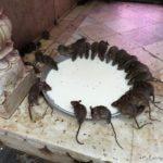 Karni Mata - świątynia szczurów. Takie rzeczy to tylko w Indiach! :)